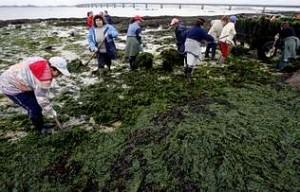 Algas marinas como abono para las vides