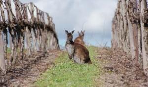 Canguros entre cepas australianas