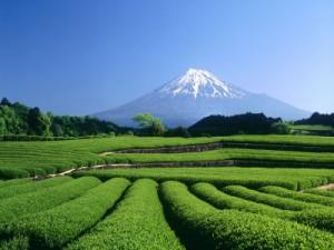 Plantación de Té a los pies del Monte Fuji