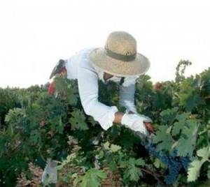 Vendimia en los viñedos de Bodegas Matarredonda