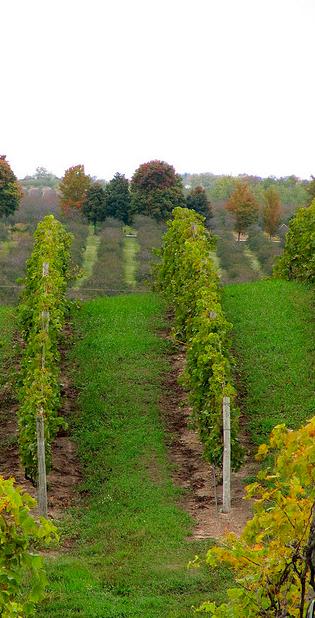 Viñedos de cultivo orgánico